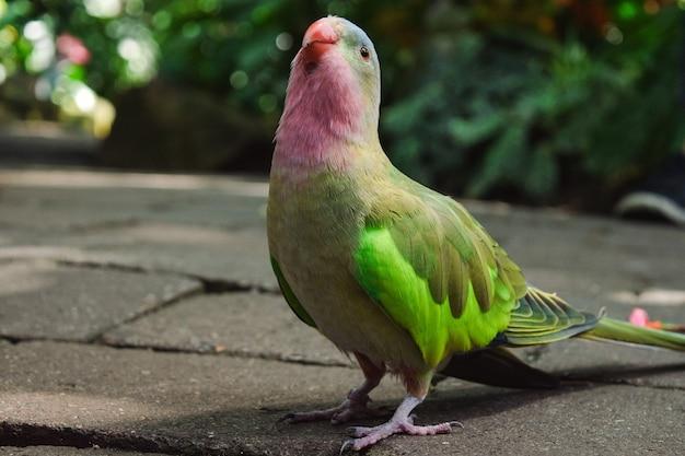 Close de um papagaio fofo em um caminho de concreto em um jardim
