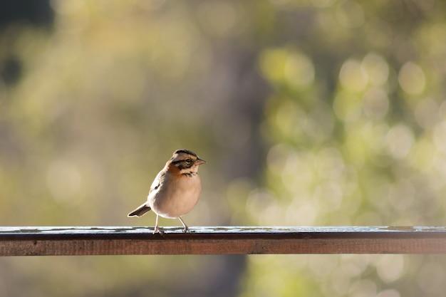 Close de um pardal de colarinho avermelhado em pé em uma cerca de madeira em um campo sob a luz do sol