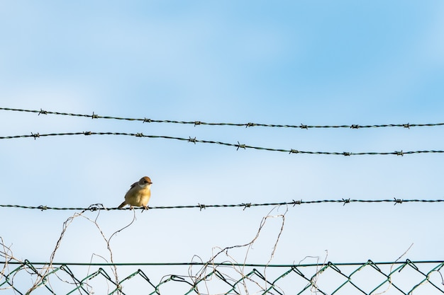 Close de um passarinho amarelo sentado nos arames farpados