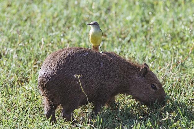 Close de um pássaro amarelo fofo em uma capivara marrom em um campo gramado verde