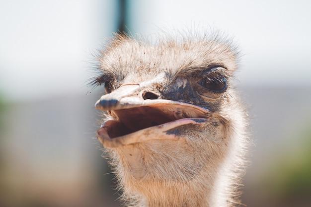 Close de um pássaro avestruz olhando para longe