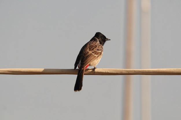Close de um pássaro bulbul vermelho exalado em um galho