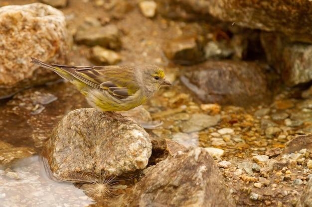 Close de um pássaro carduelis fofo em uma pedra procurando água para beber