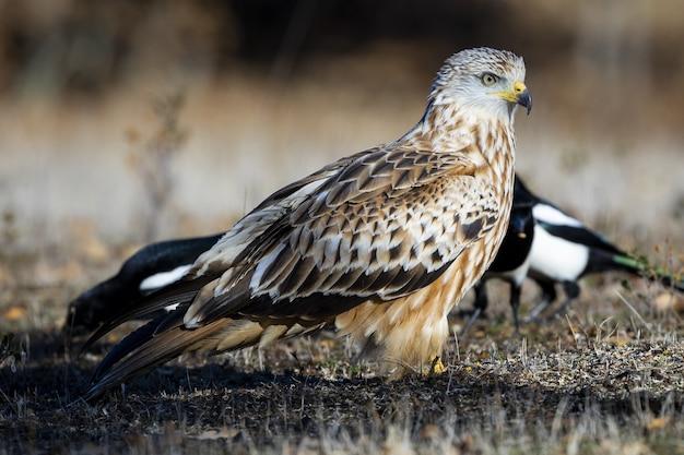 Close de um pássaro cometa em um campo gramado