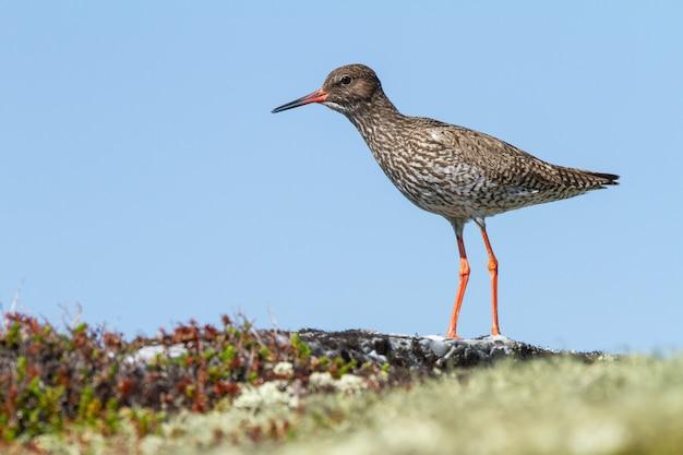 Close de um pássaro de patas compridas andando no chão na tundra