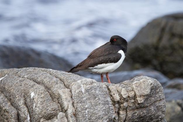 Close de um pássaro ostraceiro-euro-asiático parado em uma rocha na ilha de runde, na noruega,