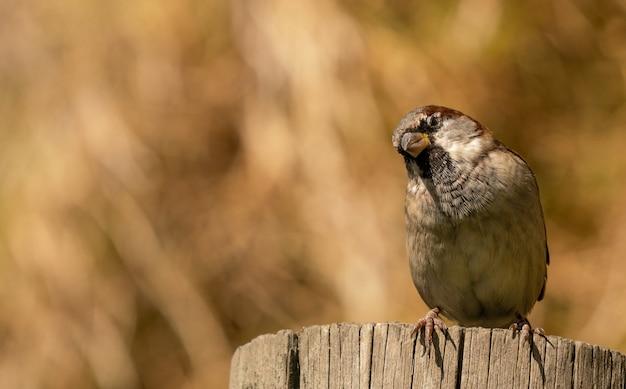 Close de um pássaro pardal empoleirado em um toco