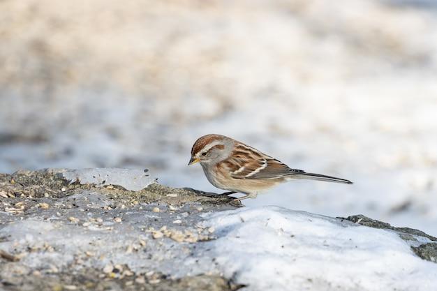 Close de um pássaro pardal parado em uma rocha cheia de sementes