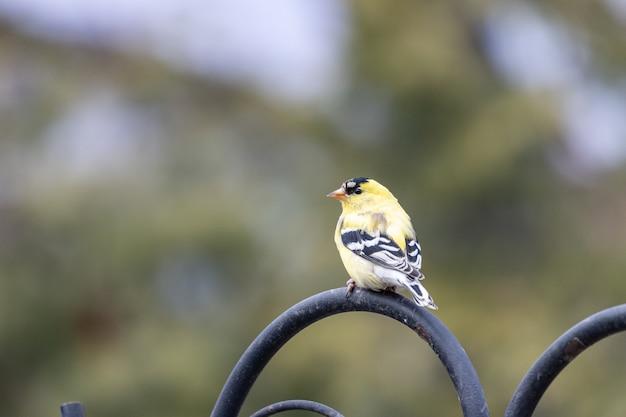 Close de um pássaro pintassilgo americano pousado sobre um metal preto