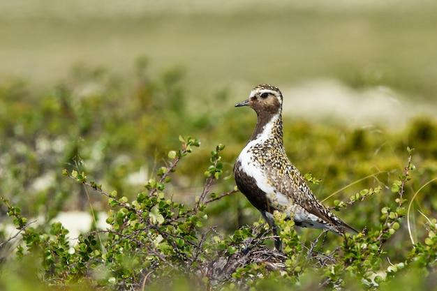 Close de um pássaro preto e branco na tundra camuflado na vegetação