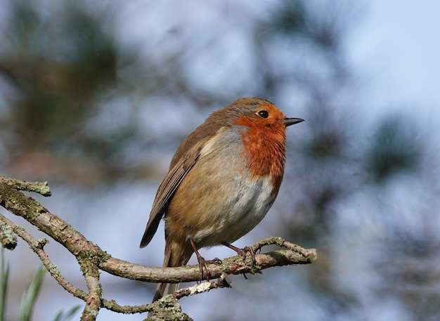 Close de um pássaro robin europeu em um galho fino com um fundo desfocado