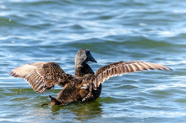 Close de um pato almiscarado nadando em um lago sob a luz do sol