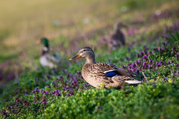 Close de um pato em um campo cercado por flores e patos sob a luz do sol
