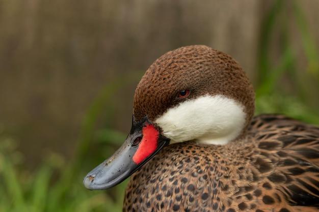Close de um pato fofo com bico vermelho e preto