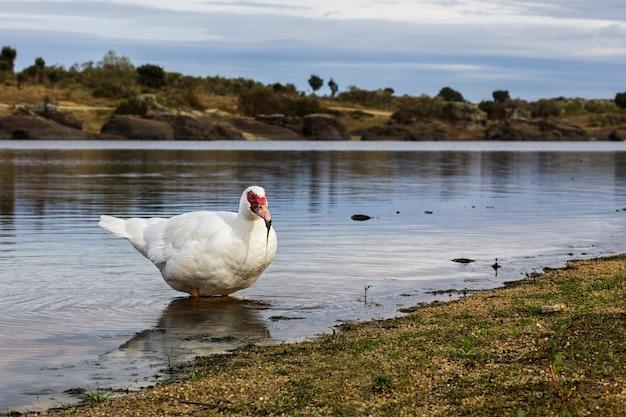 Close de um pato fotografado em seu ambiente natural