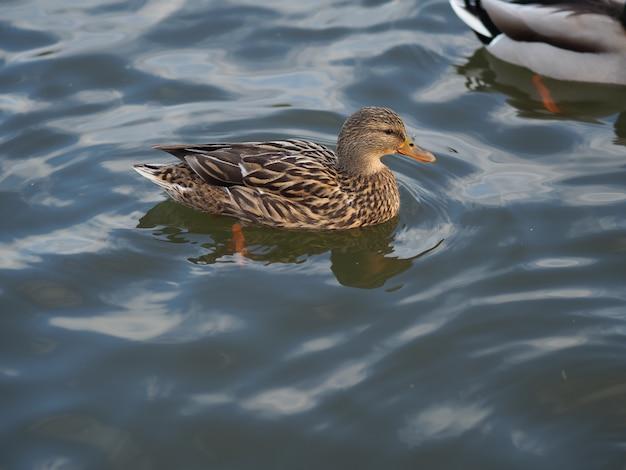 Close de um pato na água durante o dia