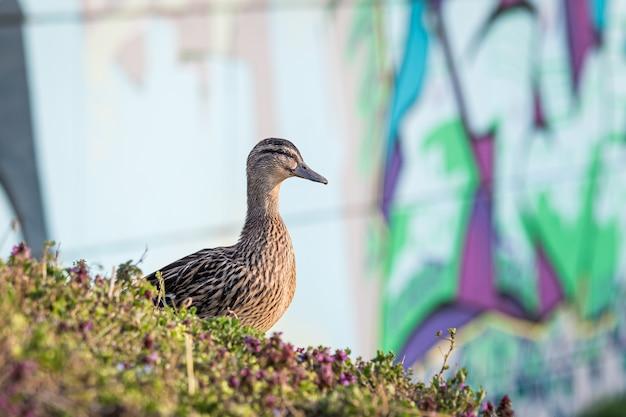 Close de um pato selvagem marrom cercado pela grama sob a luz do sol