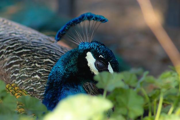 Close de um pavão cercado por vegetação