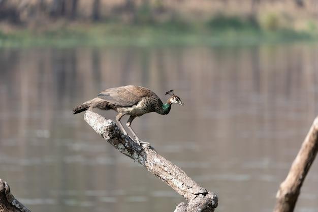 Close de um pavão empoleirado em um galho de árvore