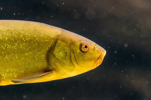 Close de um peixe amarelo debaixo d'água