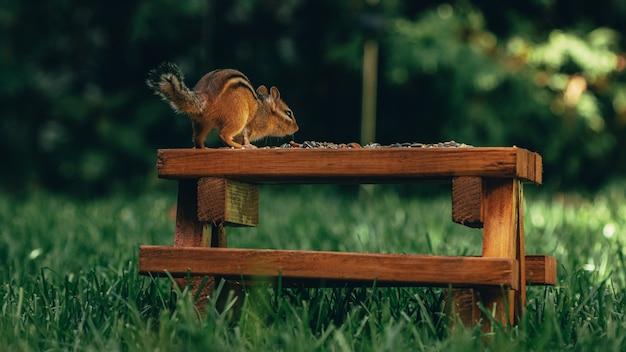 Close de um pequeno esquilo fofo em uma superfície de madeira com nozes em um campo