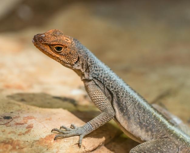 Close de um pequeno lagarto de lava de galápago