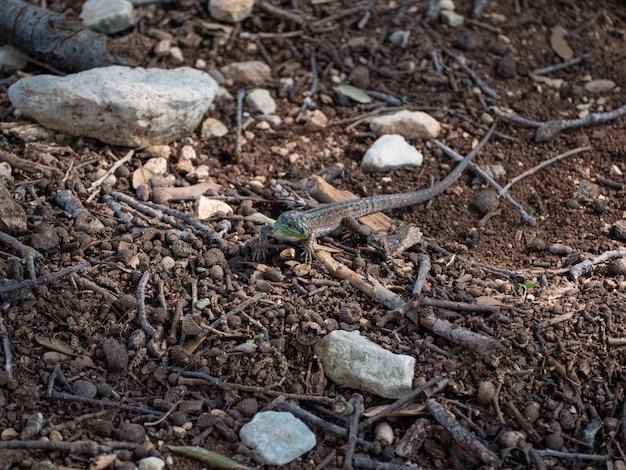 Close de um pequeno lagarto procurando comida no chão