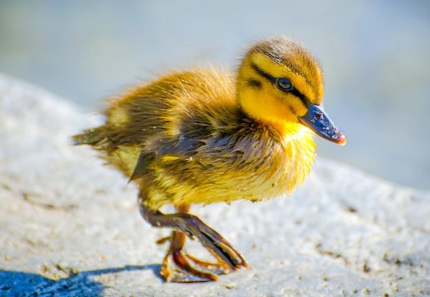 Close de um pequeno pato amarelo no chão sob a luz do sol