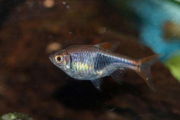 Close de um pequeno peixe prateado e cinza no aquário