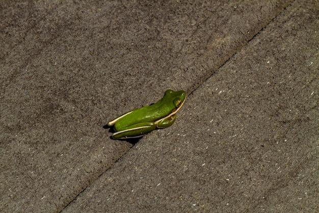 Close de um pequeno sapo verde no chão