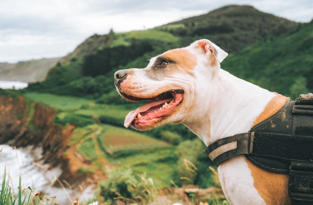 Close de um pit bull terrier americano em frente a belas colinas verdes durante o dia