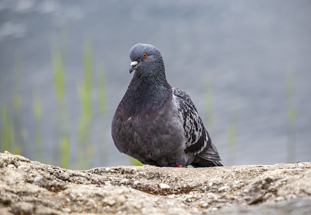 Close de um pombo sentado na rocha