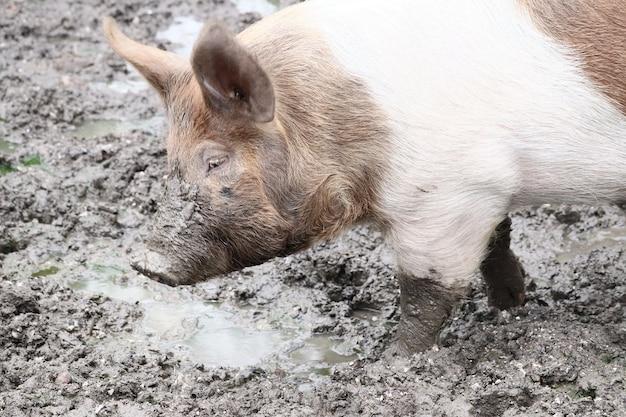 Close de um porco andando na lama