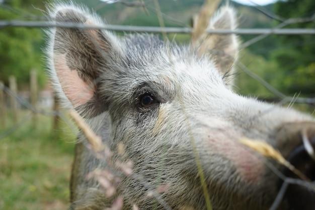 Close de um porco cinzento em uma fazenda com cercas de arame em um dia frio