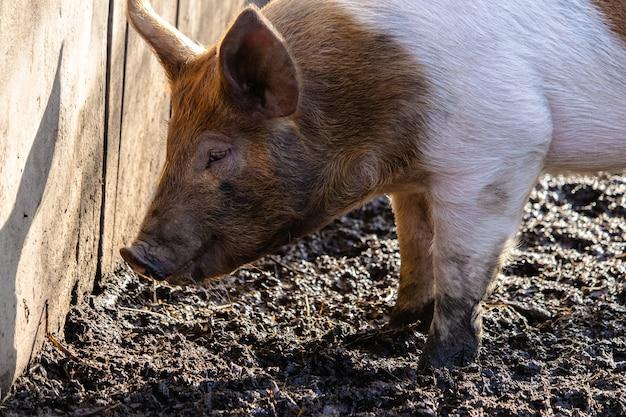 Close de um porco em uma fazenda em busca de comida em um terreno lamacento