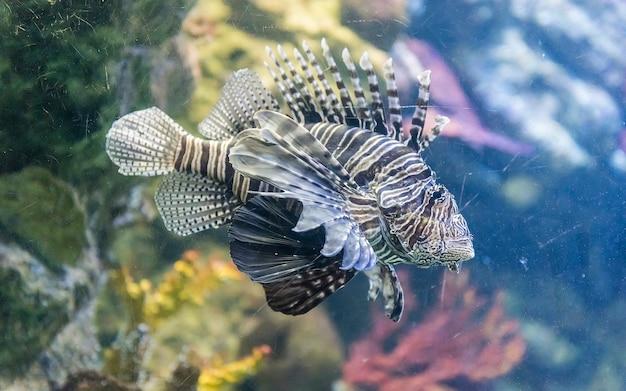 Close de um pterois, comumente conhecido como peixe-leão, visto no ambiente do aquário