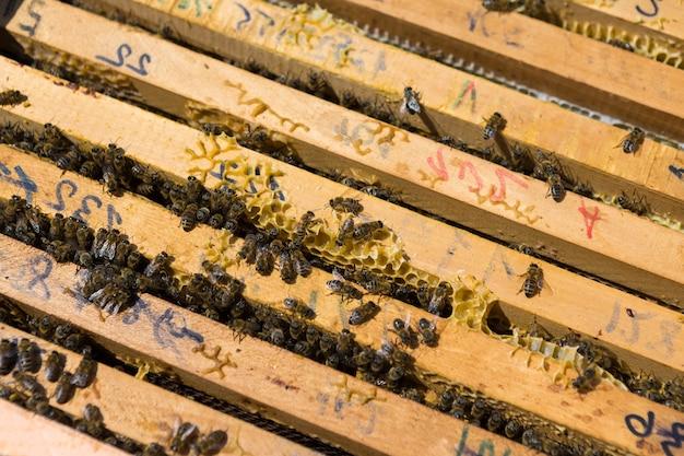 Close de um quadro com um favo de mel de cera com abelhas neles. fluxo de trabalho do apiário.