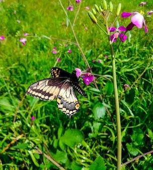 Close de um rabo de andorinha do oregon em uma flor em um campo sob a luz do sol