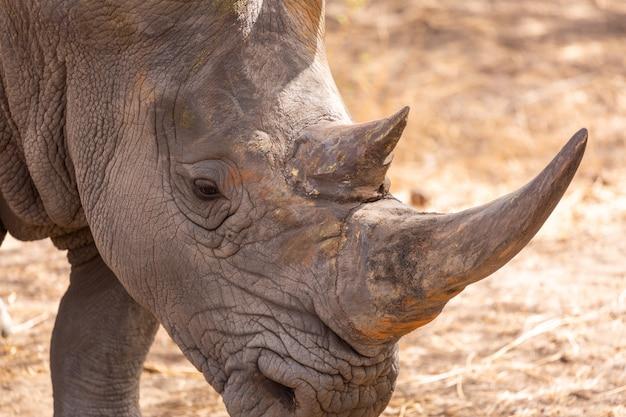 Close de um rinoceronte cinza com grandes chifres de pé no chão