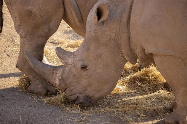 Close de um rinoceronte comendo feno com uma bela exibição de seu chifre e pele texturizada