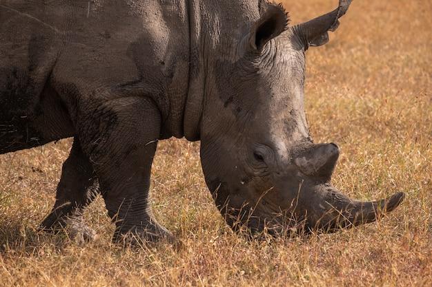Close de um rinoceronte lamacento pastando em um campo capturado em ol pejeta, quênia