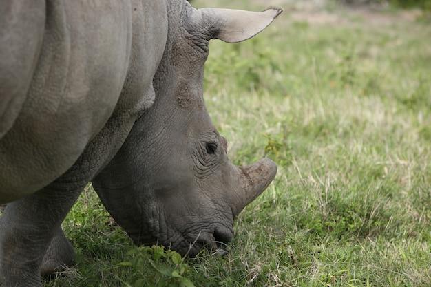 Close de um rinoceronte pastando em um campo à luz do dia