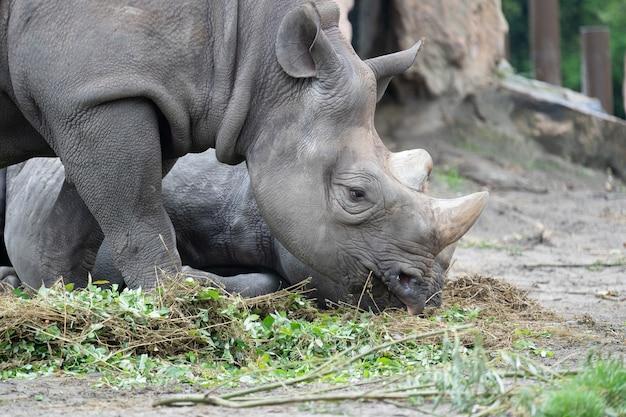 Close de um rinoceronte pastando na grama em frente a ele