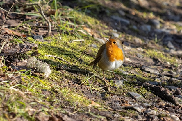 Close de um robin alerta em pé no chão da copa sob o sol de inverno