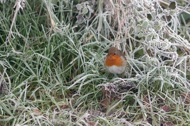 Close de um robin alerta parado na grama coberta de geada em uma manhã de inverno