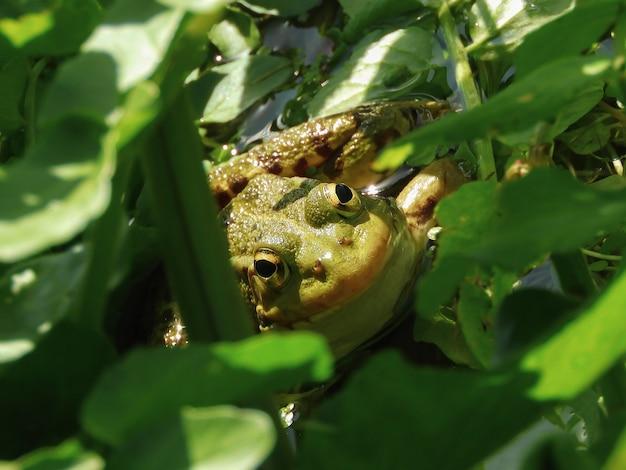Close de um sapo americano sob as folhas verdes