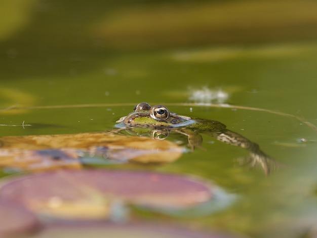 Close de um sapo mink na água sob a luz do sol com um fundo desfocado