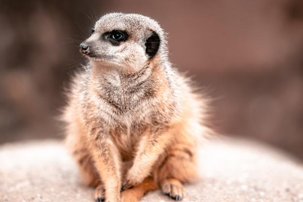Close de um suricato sentado em uma rocha sob a luz do sol