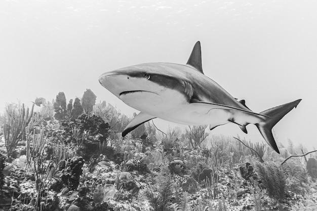 Close de um tubarão perigoso nadando no fundo do mar, filmado em escala de cinza