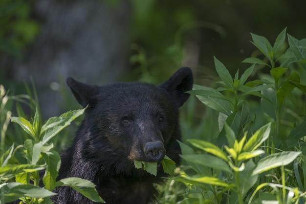 Close de um urso-negro comendo folhas ao sol com um fundo desfocado